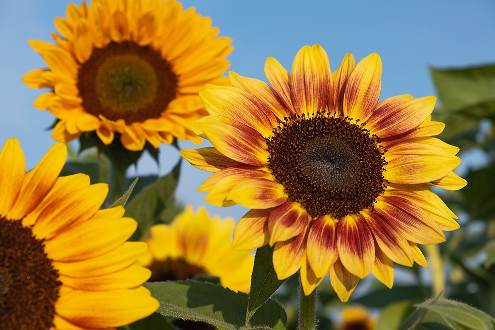 sunflowers-5584253_1920.jpg