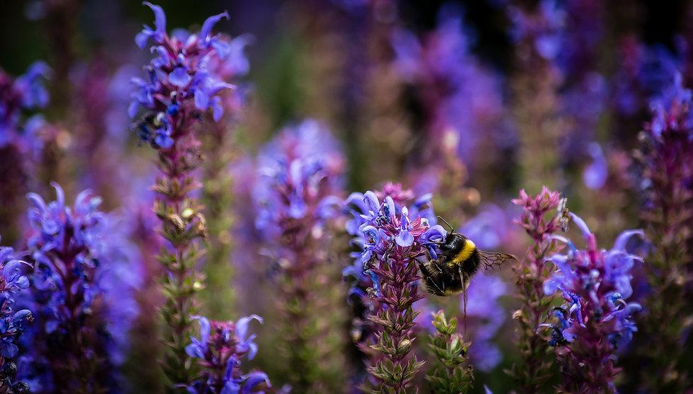 bumblebee-5428706_1920.jpg
