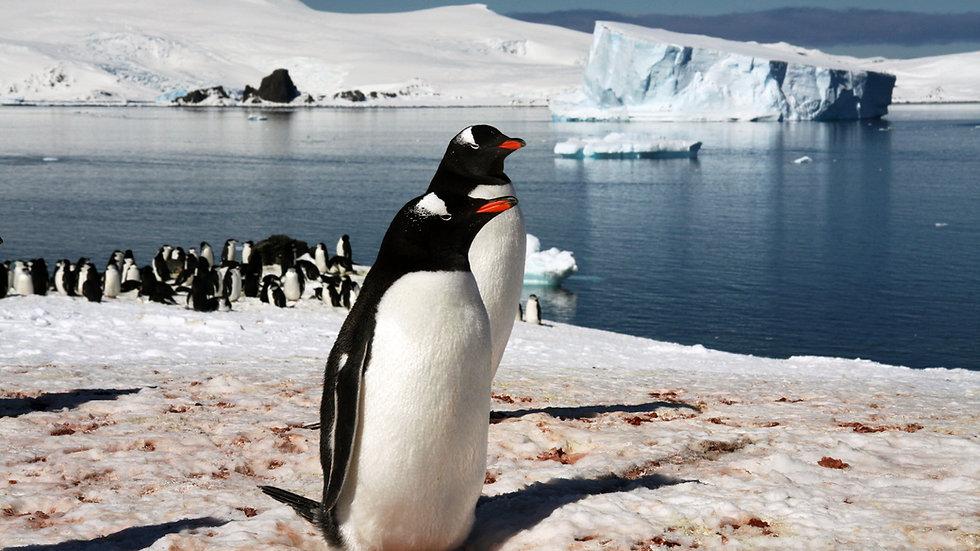 Pair of Penguins, Antartica
