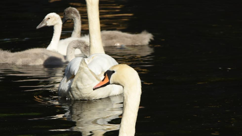 Swans - Black & White