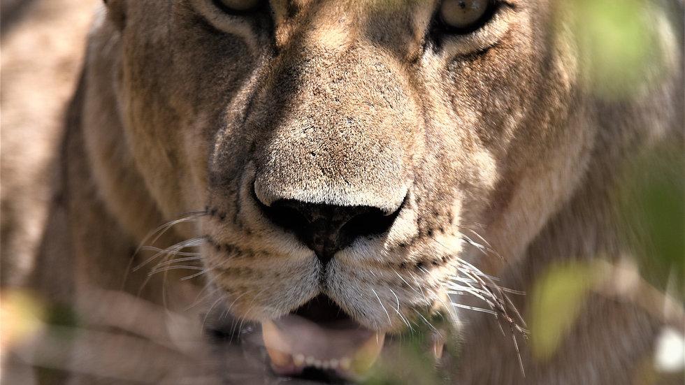 Portrait of a lioness, Kenya