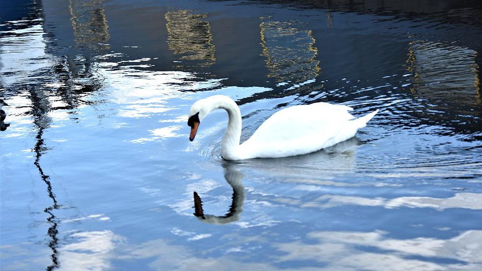 Swan self-reflection