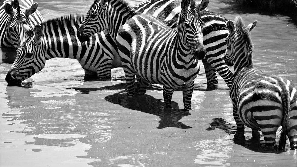 Zebras in the pond, Kenya