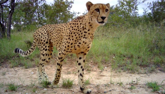 Cheetah camera trap-1.jpg