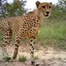 Cheetah camera trap-1.jpg