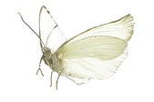 papillon G-4.png