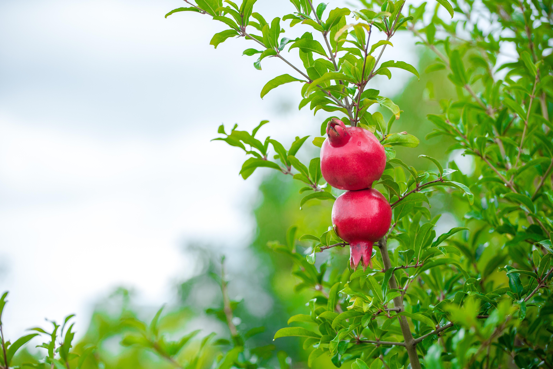 Pemagranate