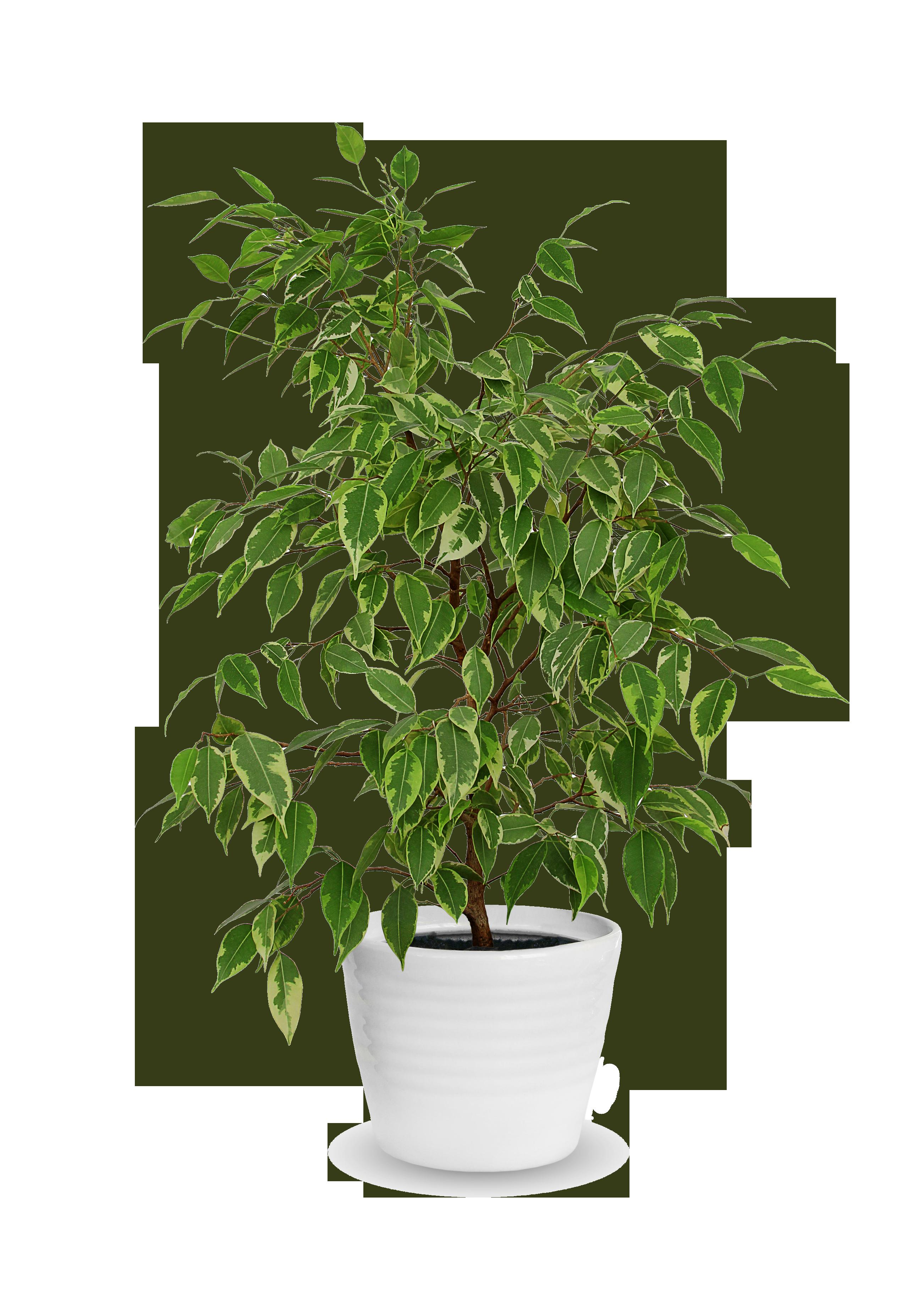 Ficus - Starlight