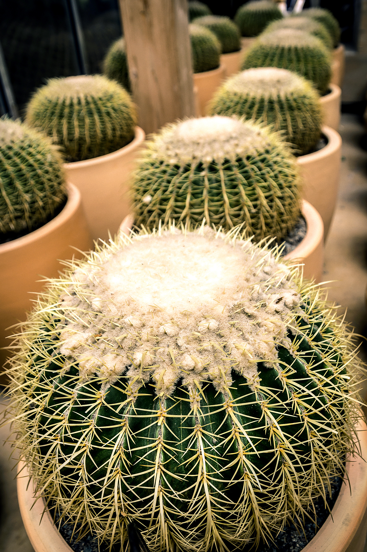 Echinocactus Grousonii
