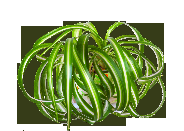 Cholorphythum