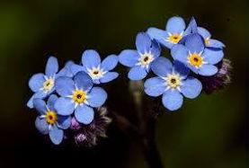No Me Olvides Una Flor Que Se Convirtio En Simbolo De Resistencia
