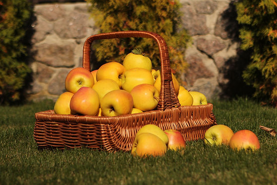 Golden Delicious, Golden Reinders apples of Green Farm apple for export and import