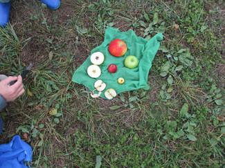 Äpfel_durchschneiden_Kernen_+_Sternenmu