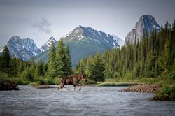 Rockies moose