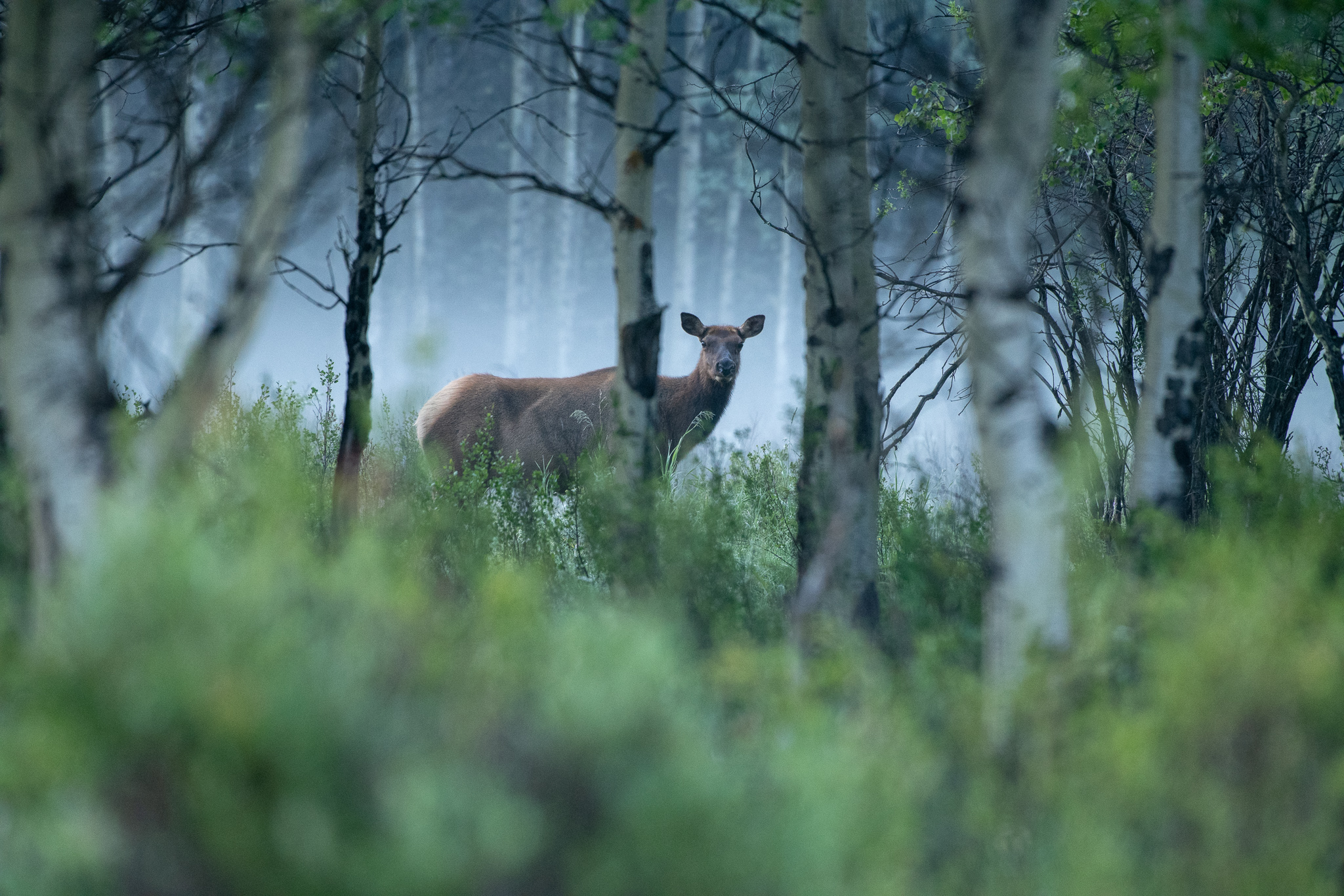 Elk through mist