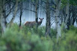 Elk through mist