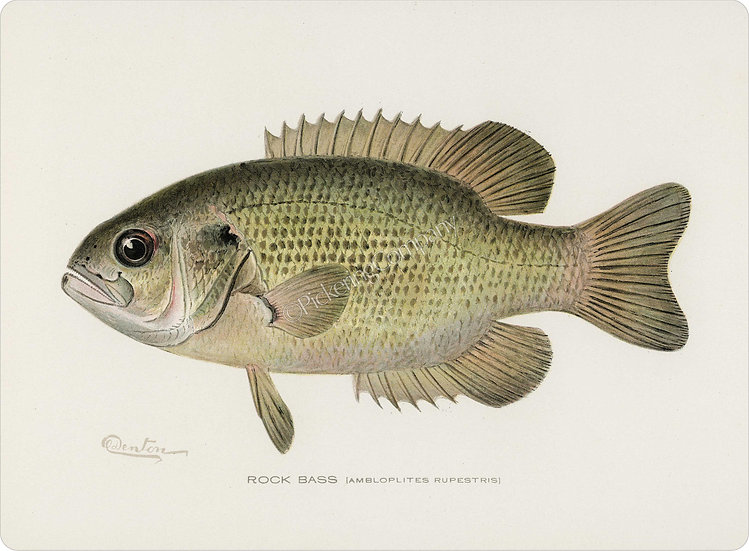 Denton 'Rock Bass' Placemat