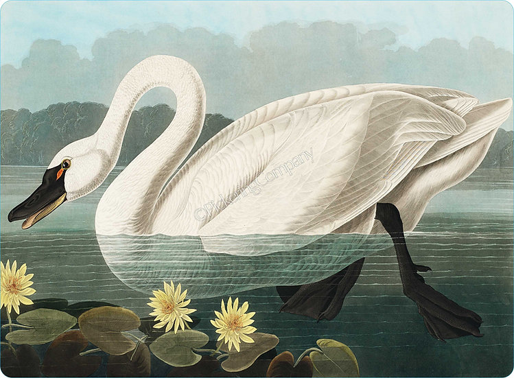 Audubon 'Common American Swan' Placemat