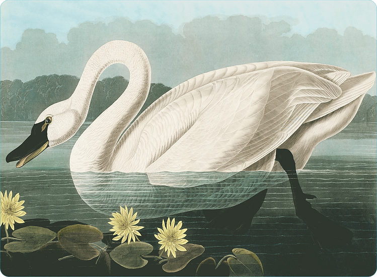 Audubon 'Common American Swan' Placemats - Set of 4