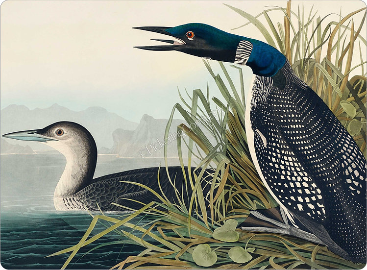 Audubon 'Great Northern Diver or Loon' Placemat