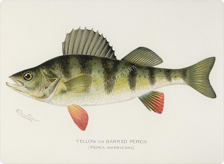 Denton 'Yellow Barred Perch' Placemat