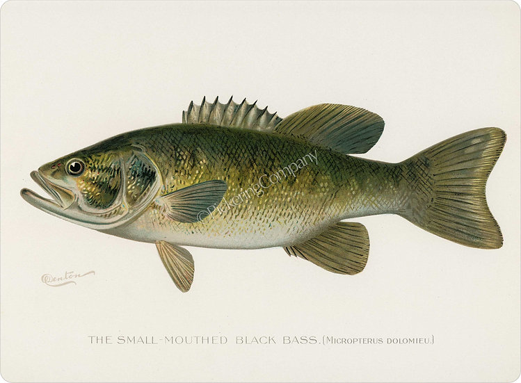 Denton 'Small Mouthed Bass' Placemat
