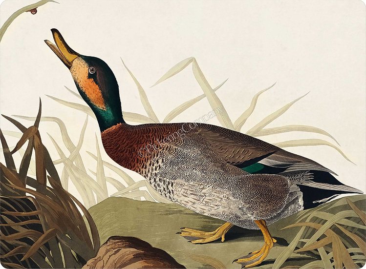 Audubon 'Bemaculated Duck' Placemat