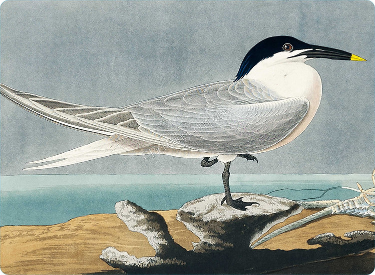 Audubon 'Sandwich Tern' Placemat