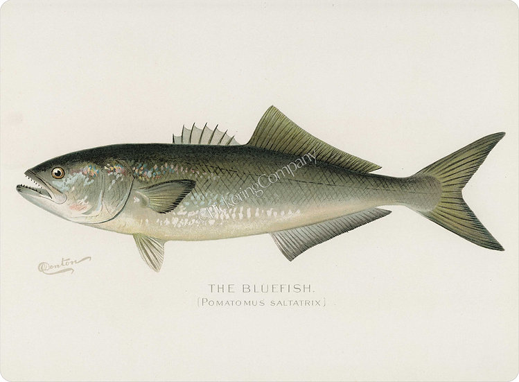 Denton 'Bluefish' Placemat