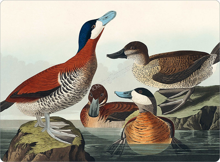 Audubon 'Ruddy Duck' Placemat