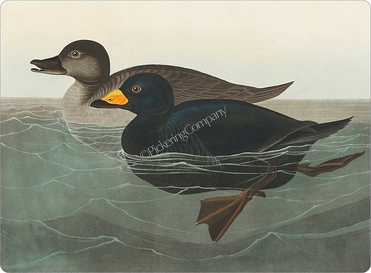 Audubon 'American Scoter Duck' Placemat