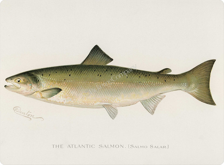 Denton 'Atlantic Salmon' Placemat