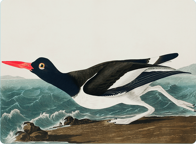 Audubon 'Pied Oyster-Catcher' Placemats - Set of 4