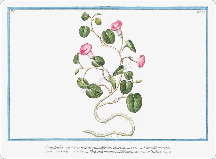 Bonelli's Botanicals 'Convolvulus Maritimus' Placemat