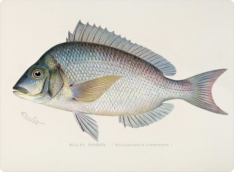 Denton 'Scup; Porgy' Placemat
