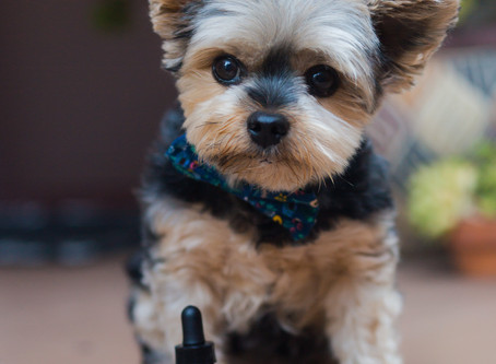 How CBD Can Improve Your Pet's Overall Wellness?