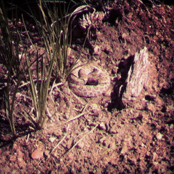 Baby Rattle Snake