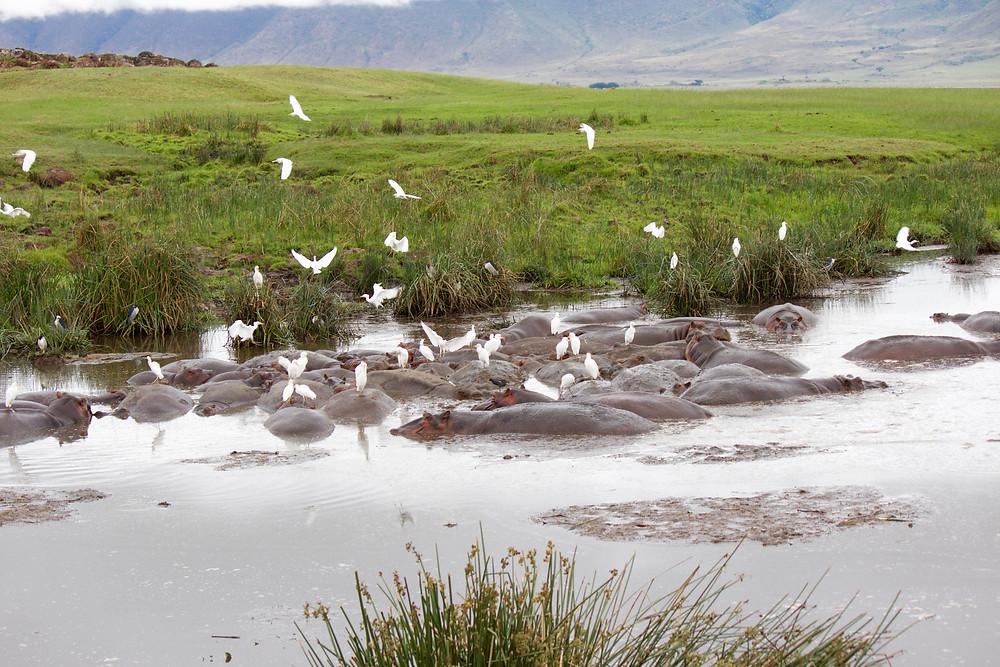 Hippo pool in Ngorongoro Crater