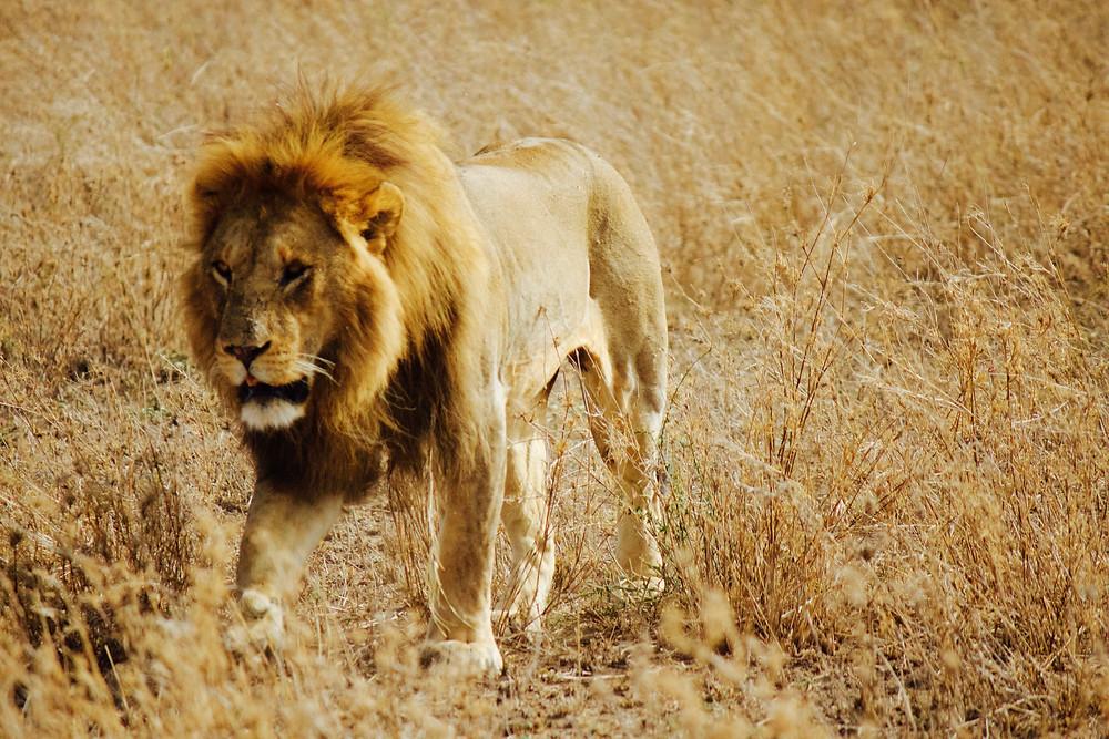 A lion walks through golden grasses