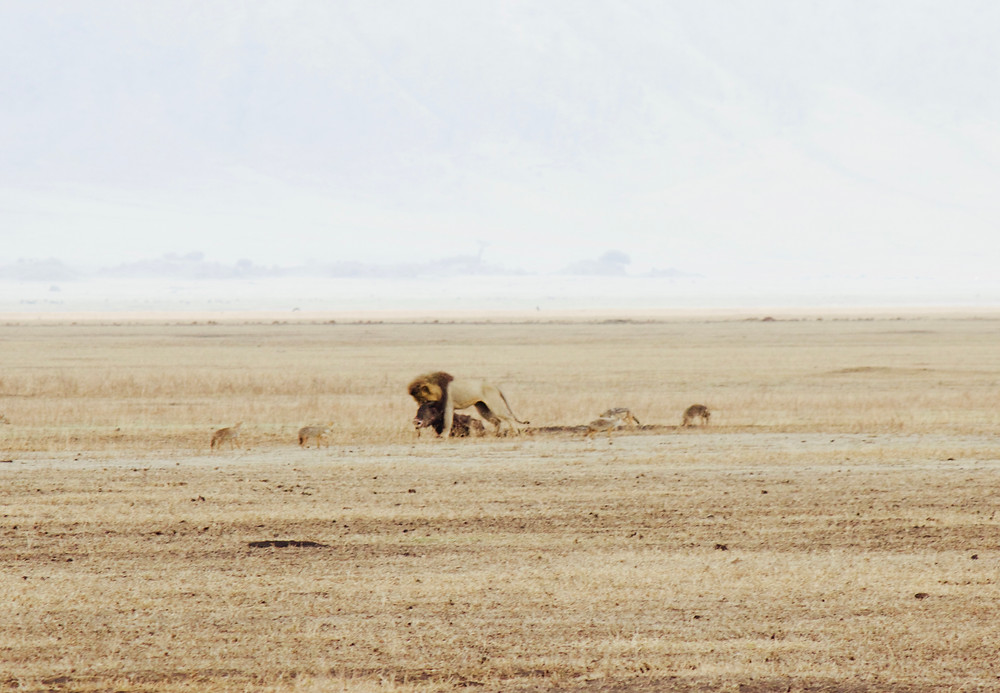 Lion dragging a kill across the Serengeti