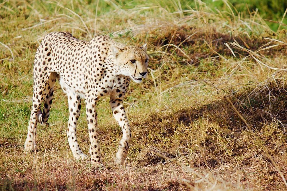 Cheetah in the Serengeti