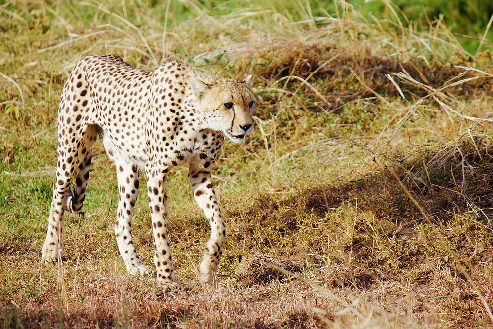 Cheetah struts through the Serengeti