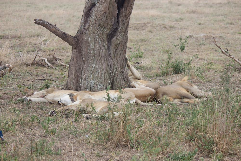 Lions sleep tonight
