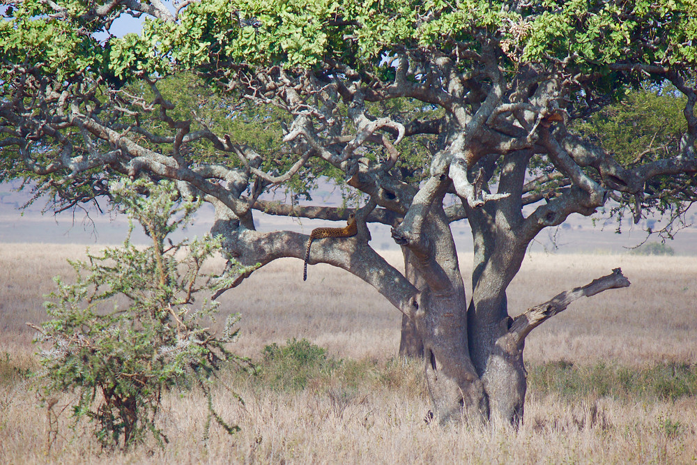 A leopard stretched out in a tree in the Serengeti