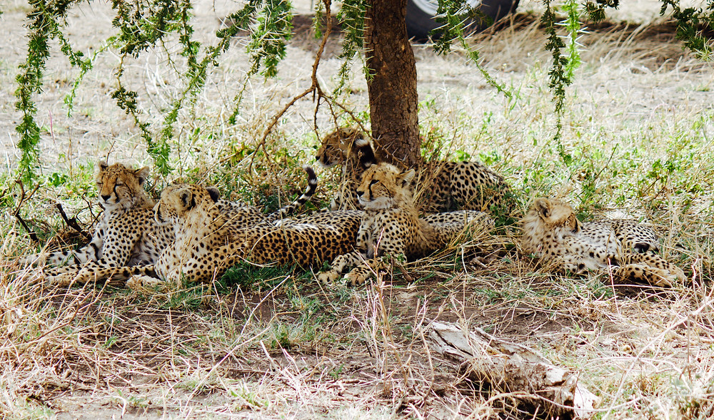 A family of cheetah cubs take shade under a tree