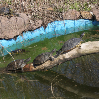 Gelbwangenschildkröten