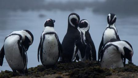 Urban Penguins