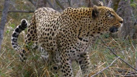 Africa's Big Cats