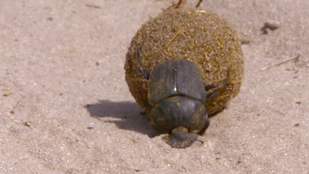 Dung Beetles Nature's Recyclers