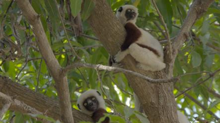 Lemur Spirit